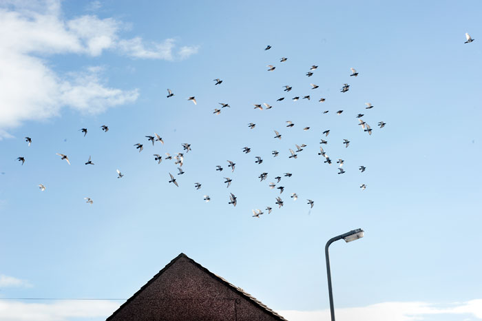 Racing pigeons over Flimby playing fields